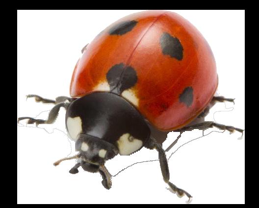 egyéb rovarok, illusztráció